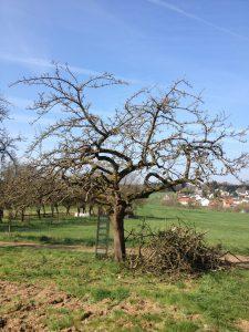 Obstbaumpflege Junge